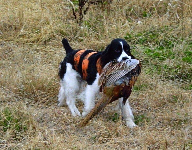 English Springer Spaniel Hunting Obedience   ESS...