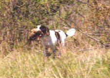 English Springer Spaniel Hunting The English Springer Spaniel
